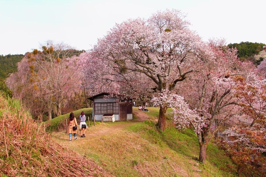 Monte Yoshino Sakura Japon
